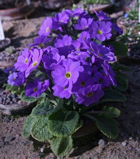 Primula renifolia