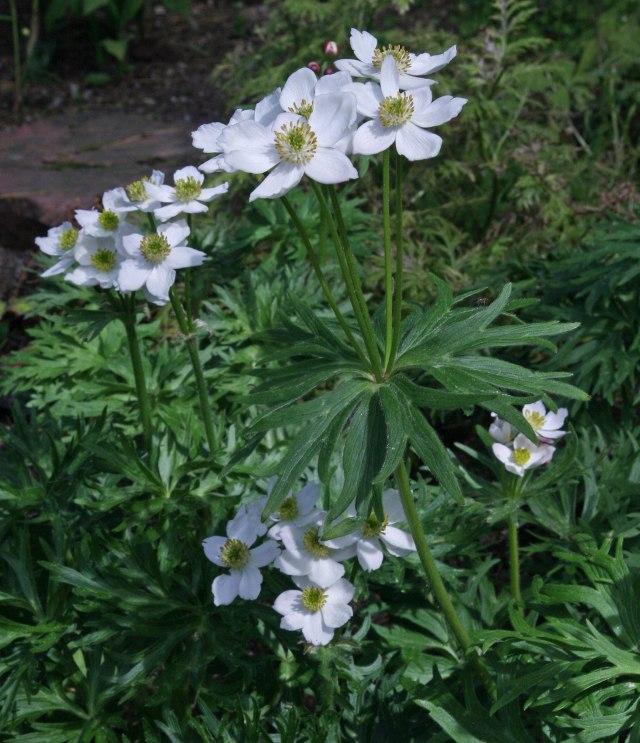 Anemone taipaiensis HeHeHe 053