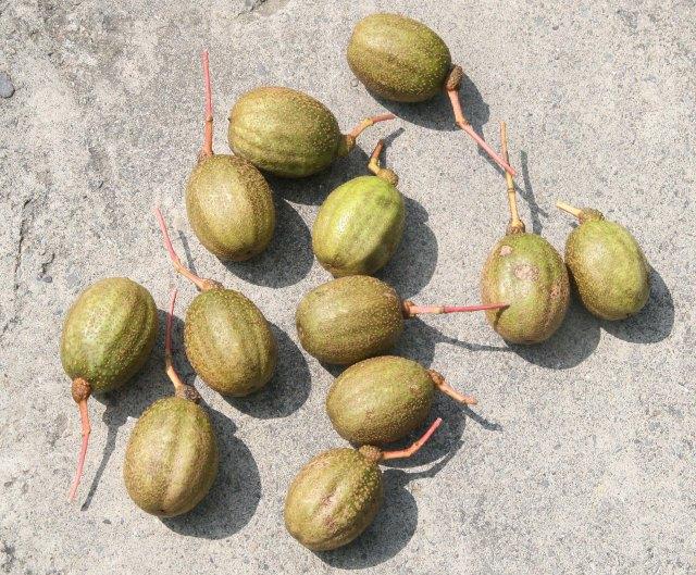 IMG_2220 Daba Shan Davidia involucrata 189 frukt 1800 m